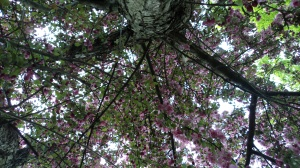 crab apple tree - looking up