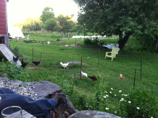 None of the chickens were harmed in the making of this post . . . yet.